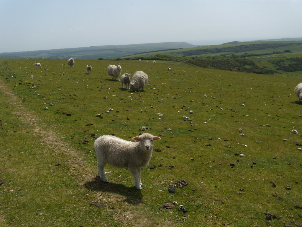 Obligatory sheep photo 2 Glynde to Seaford