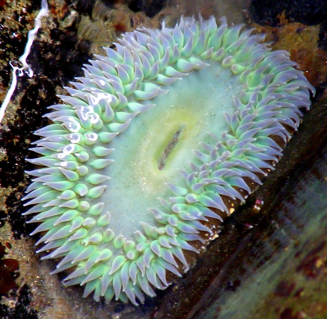 Giant Green Sea Anemone | Flickr - Photo Sharing!