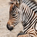 Very young zebra