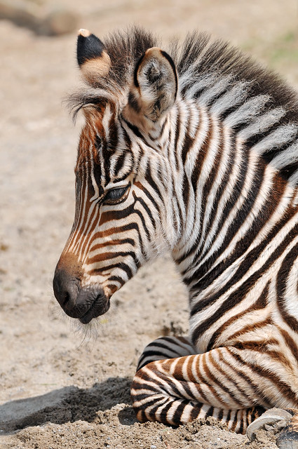 Very young zebra | Flickr - Photo Sharing!