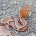 Copperhead - Photo (c) Jerry Oldenettel, some rights reserved (CC BY-NC-SA)