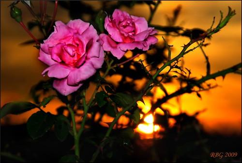 flowers sunset roses nature nikon 1001nights mb ineffable d80 awesomeblossoms nikonflickraward dragondaggerphoto exquisitesunsets
