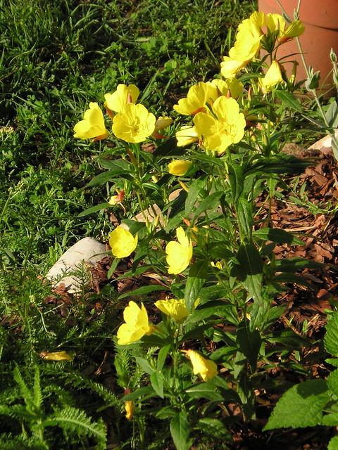 Yellow garden phlox Flickr Photo Sharing