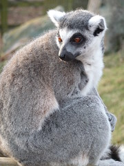 animal, primate, marsupial, fauna, lemur, wildlife,