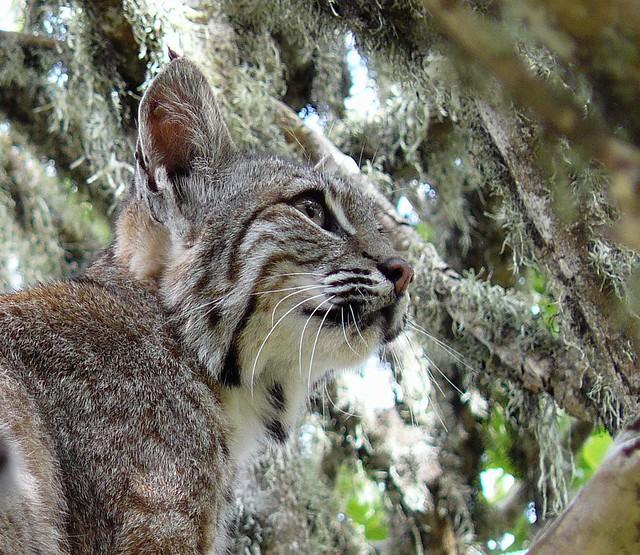 Male Bobcat (Lynx rufus) Montana de Oro State Park
