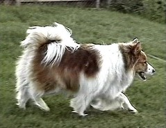 greenland dog(0.0), rough collie(0.0), dog breed(1.0), animal(1.0), german spitz klein(1.0), dog(1.0), pet(1.0), german spitz(1.0), scotch collie(1.0), german spitz mittel(1.0), collie(1.0), carnivoran(1.0), icelandic sheepdog(1.0),