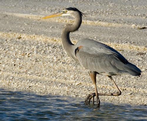 blue bird beach heron sunrise island florida great marco avian tigertail