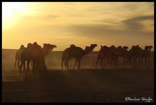 light sunset sun sahara animals sand desert sudan camel arab dust camels جمال صحراء dongola السودان توارق دنقلا الشمالية ايموهاغ هقار