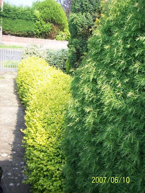Golden box hedge