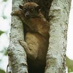 Ankarana Sportive Lemur