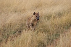 grizzly bear(0.0), animal(1.0), prairie(1.0), plain(1.0), mammal(1.0), hyena(1.0), fauna(1.0), savanna(1.0), grassland(1.0), safari(1.0), wildlife(1.0),