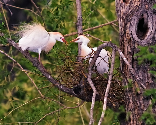 building bird love heron nature birds animal nikon colorado nest weld wildlife birding ave breeding co material elegant egret ornithology 2009 avian courting cattleegret greeley d300 courtship sb800 300f4 clff glenmere