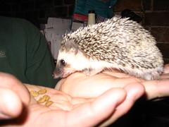 animal, domesticated hedgehog, erinaceidae, fauna,