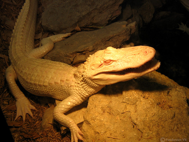 Baby Albino American Alligator | Flickr - Photo Sharing!