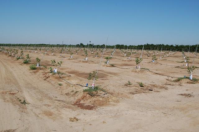 Newly Planted Walnut Trees Kidd Farm Modesto By Amy Moffat