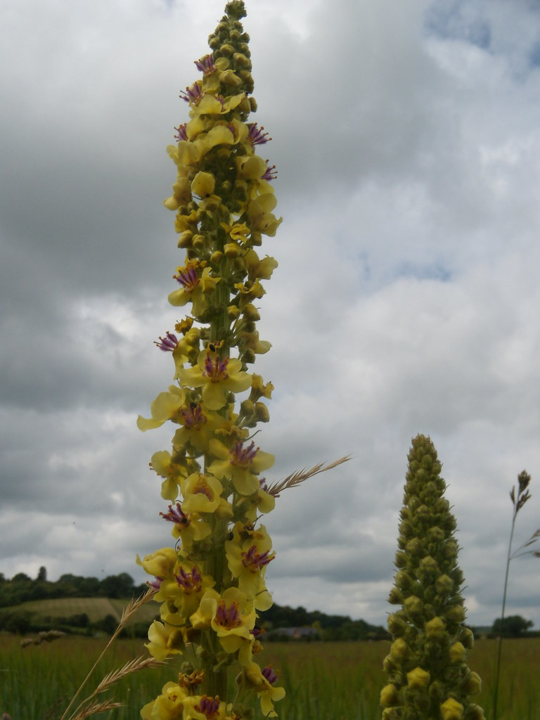 Mullein Saunderton Figure of 8. Bledlow loop