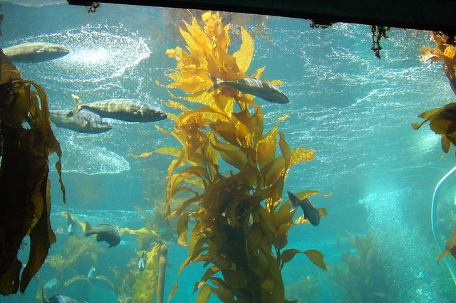 Fish in Kelp Forest at Monterey Bay Aquarium Flickr - Photo Sharing!