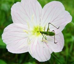annual plant, geranium, flower, plant, macro photography, wildflower, pink evening primrose, flora, petal,