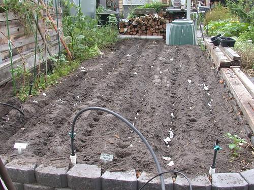 Garlic-Planting-8231