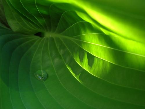 inside the realm of a hosta