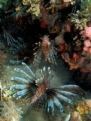 Northern Haiti's Lionfish