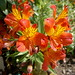 Alstroemeria or Peruvian Lily or Lily of the Incas........