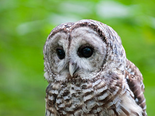 Barred Owl (Strix varia) close-up [captive]