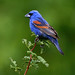 Blue Grosbeak - Photo (c) Blake Matheson, some rights reserved (CC BY-NC)