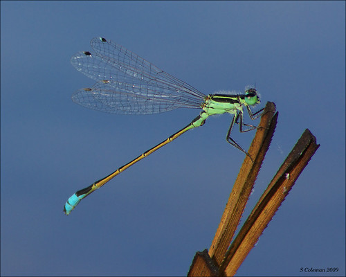 Damselfly yoga