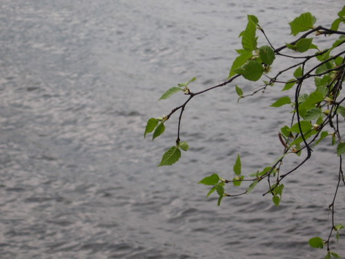 plants green water leaves spring maine foliage birch cantonlake