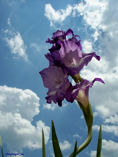 Crooked Gladiolus