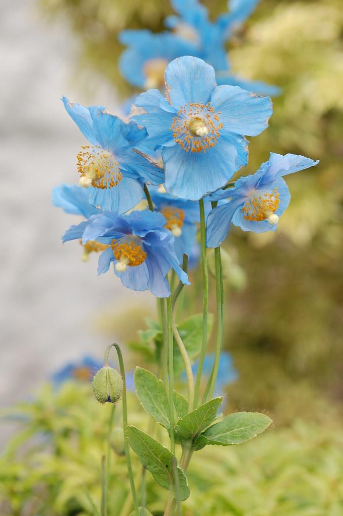 Blue poppys
