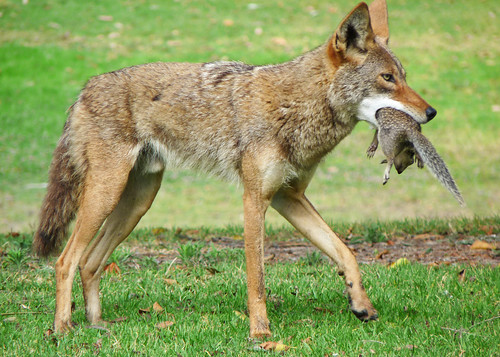 Coyote with Squirrel