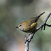 Striated Thornbill (Acanthiza lineata)