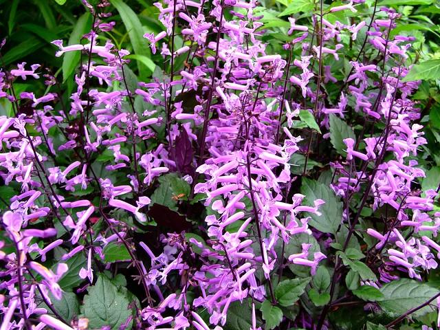LAMIACEAE 唇形科 - Mona Lavender (Plectranthus ecklonii) 夢幻紫香茶菜