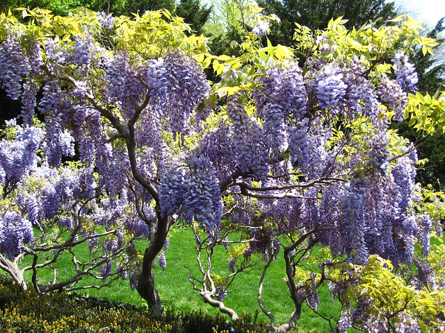 Wisteria blooms along the steps to the Osborne Garden. Photo by Rebecca Bullene.