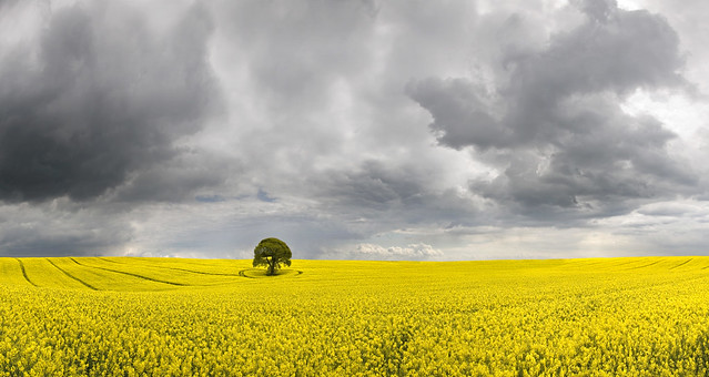 Tree in a Field of Yellow with Darkening Sky