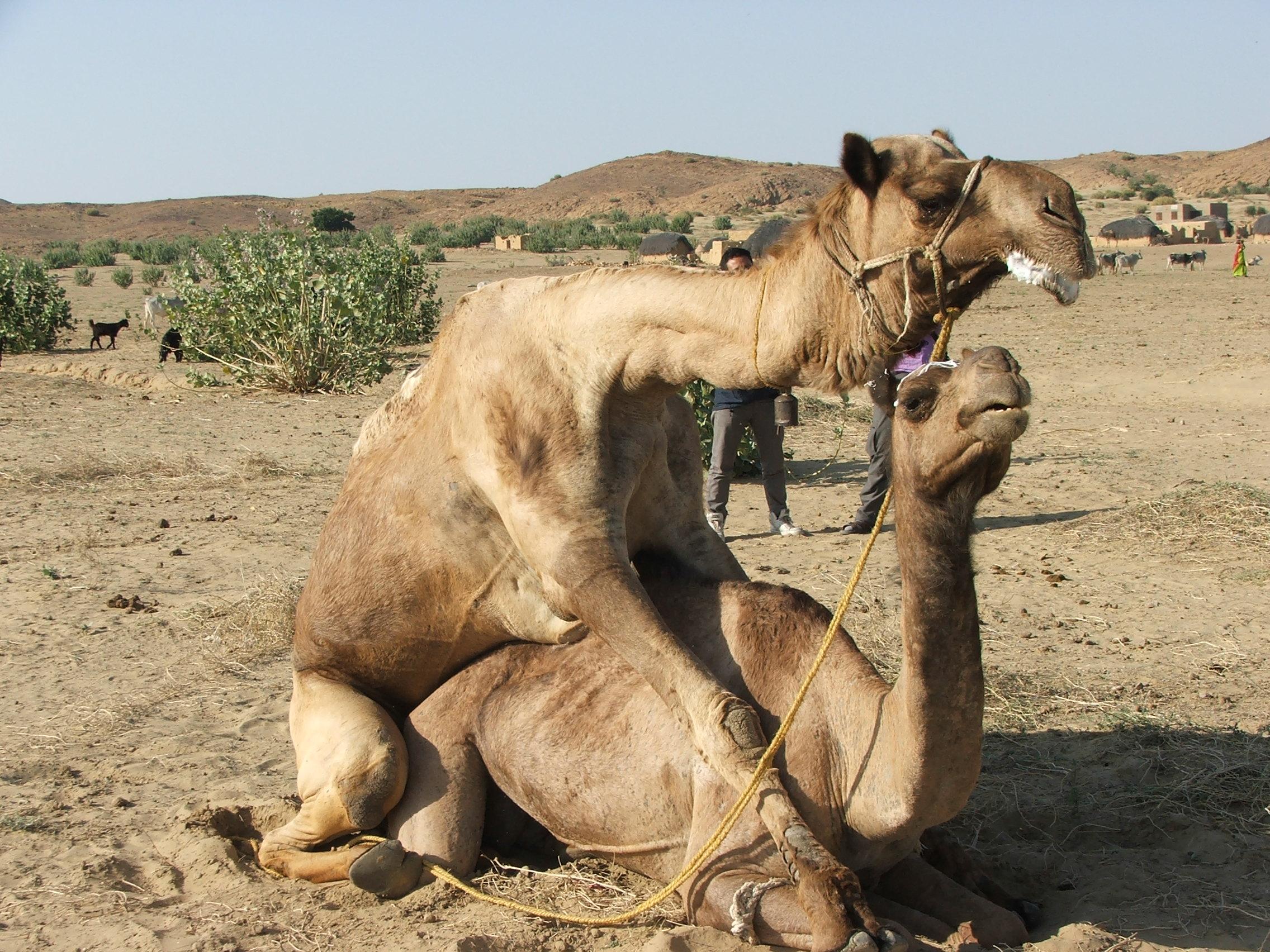 Порна верблюдов