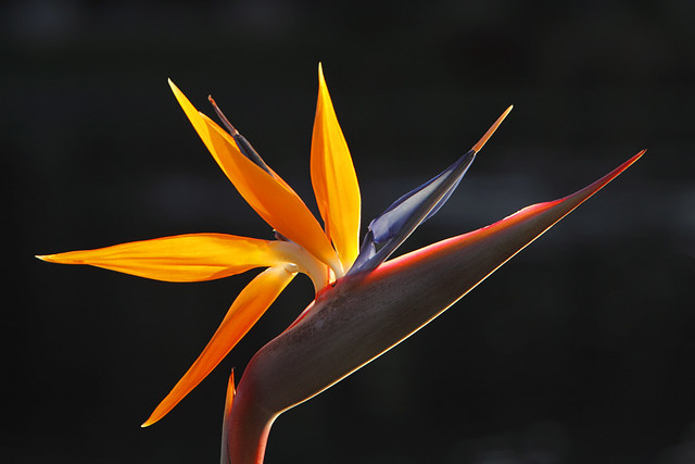 backlit Bird of Paradise flower