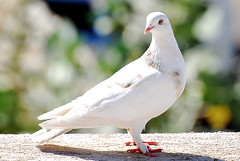 stock dove(0.0), seabird(0.0), animal(1.0), pigeons and doves(1.0), wing(1.0), fauna(1.0), close-up(1.0), beak(1.0), bird(1.0), wildlife(1.0),