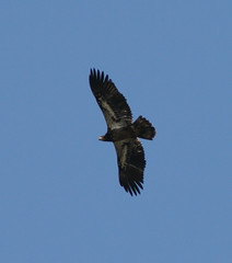 bald eagle(0.0), animal(1.0), bird of prey(1.0), wing(1.0), vulture(1.0), fauna(1.0), buzzard(1.0), accipitriformes(1.0), kite(1.0), beak(1.0), bird(1.0), flight(1.0),