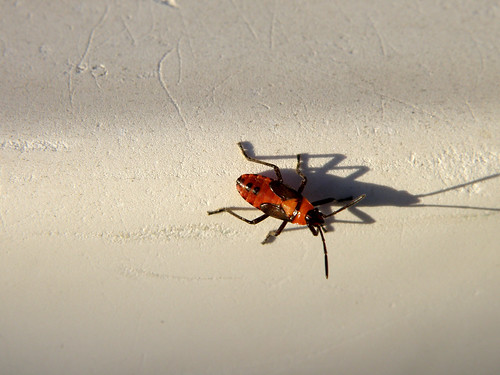 Red Bug Shadow 2