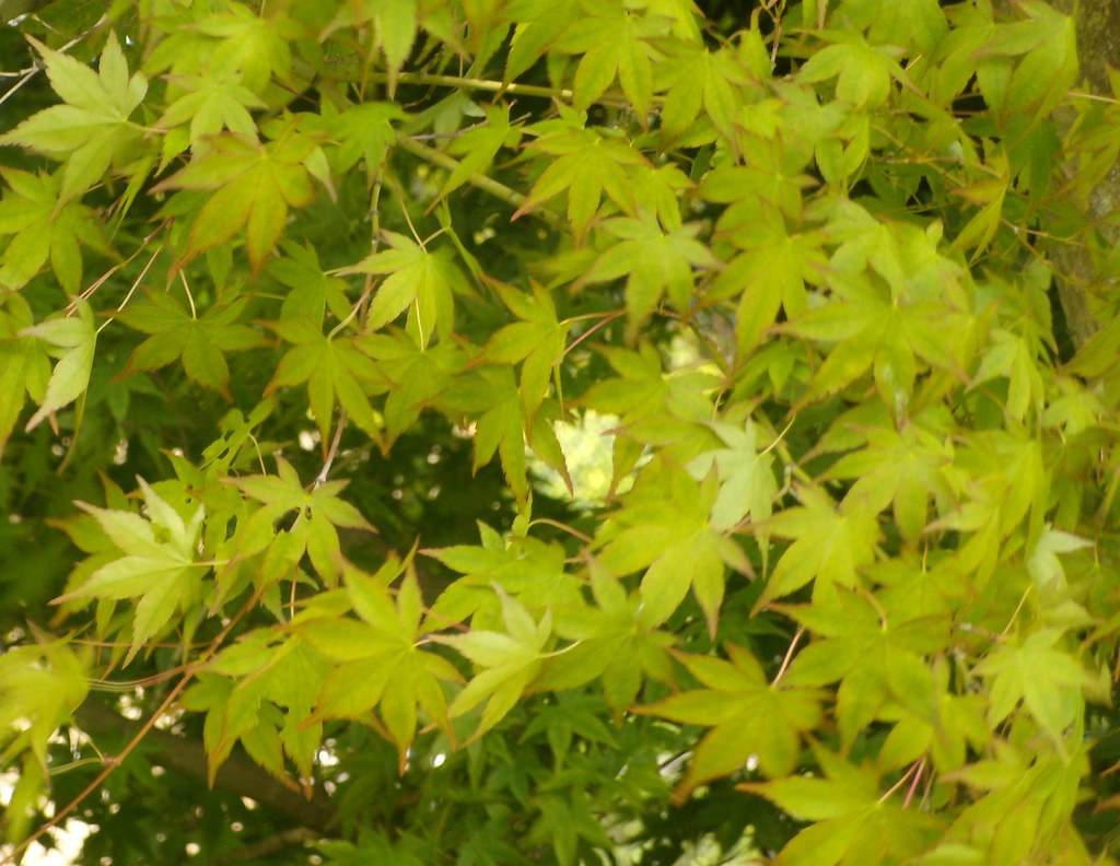 Maple leaves Pluckley Circular with extension