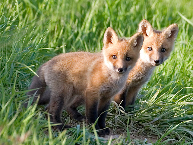 Fox Cubs A Gallery On Flickr