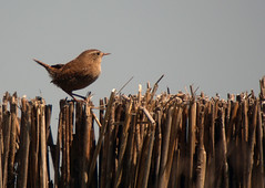 Wren sat on reed screen, Leighton Moss RSPB, May 2009