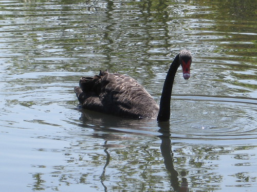 Black Swan, London Wetland Centre