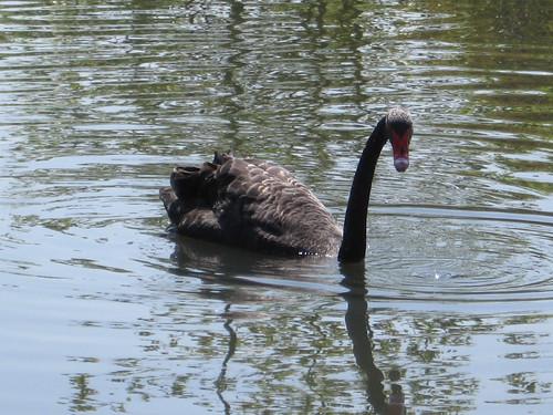 Black Swan, London Wetland Centre
