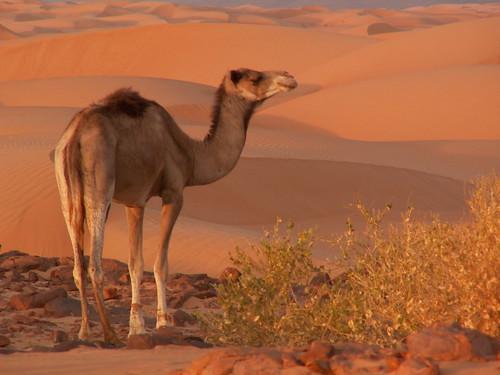 africa sunset sahara trekking evening desert minolta dune sable ombre camel konica soir touareg mauritania afrique mauritanie campement chameau adrar meharee amatlich