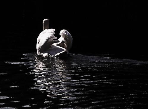 [フリー画像素材] 動物 2, 白鳥・ハクチョウ, モノクロ ID:201204040400