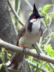 Red-whiskered Bulbul - Photo (c) Charles Lam, some rights reserved (CC BY-SA)